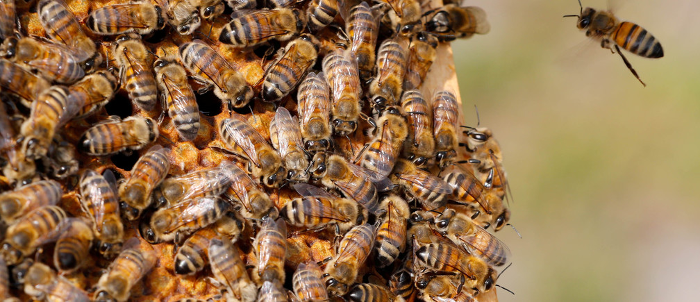 Bees are seen on the frame of a beehive in Denee, Belgium, May 15, 2018.