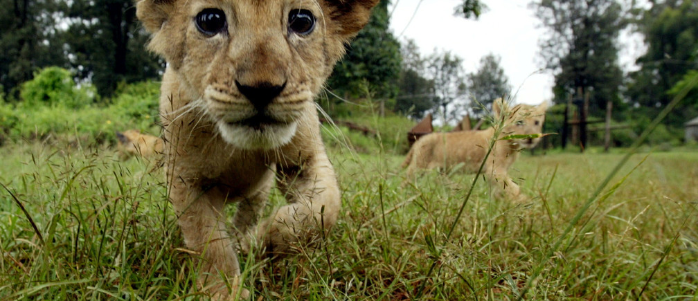 A lion cub is seen walking in the grass at Nairobi animal orphanage in Kenya in this July 2004 file photo. Even the King of the Jungle needs a hand staying alive on his own turf. That is what the government of Kenya thinks as far as the majestic African lion, a symbol of the continent and one of its most feared predators, is concerned. The Kenya Wildlife Service is pushing the Convention on International Trade in Endangered Species (CITES), to give the African lion, panthera leo, its most protected status. Current conservative estimates place the African lion population at 23,000, Kenya wrote in its proposal