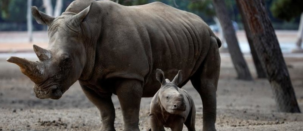A newborn female southern white rhinoceros calf, born August 14 and weighing 50 kilograms, stands next to its mother, Tanda, at the Safari Zoo in Ramat Gan, near Tel Aviv, Israel September 17, 2018. REUTERS/Amir Cohen - RC1AA5A4CD60