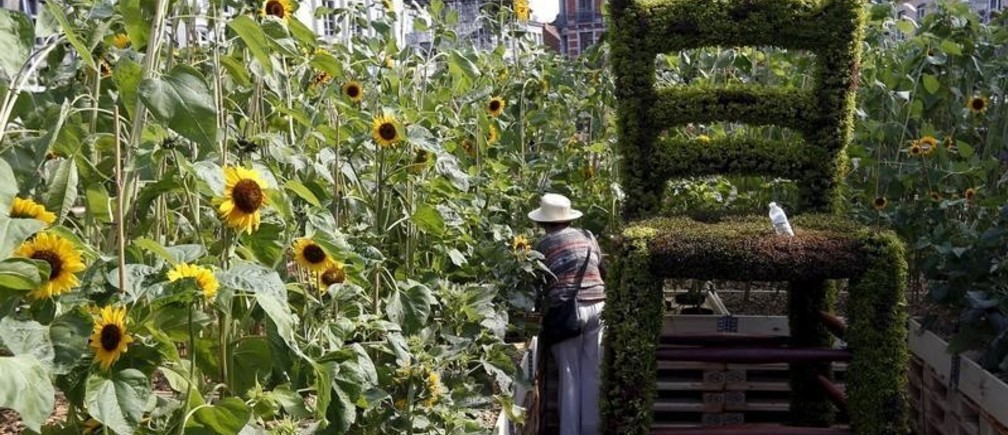 A worker adjusts plants to set up a labyrinth made of some 8,000 sunflowers in Mons, Belgium, as part of the city's celebrations as European capital of culture, July 17, 2015. The sunflowers were chosen to honour Dutch painter Vincent Van Gogh's well known painting, and cover 3,000 square metres on the city's main market square.  REUTERS/Francois Lenoir  - GF10000162098