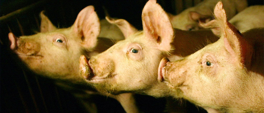 Pigs stand inside a pen at a farm 40 km (25 miles) northeast of Hanoi February 7, 2004. Two more people died in Vietnam of bird flu, taking Asia's death toll on Friday to 18, but U.N. agencies dismissed earlier reports that the virus had spread to pigs. NO RIGHTS CLEARANCES OR PERMISSIONS ARE REQUIRED FOR THIS IMAGE REUTERS/Thomas White PP05080048  TW/FA - RP4DRIIHNOAA