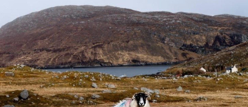 An ewe and its lambs rest on the Isle of Lewis and Harris, an island off the northwestern tip of Scotland in the Outer Hebrides, Britain April 27, 2016. Picture taken April 27, 2016. REUTERS/Russell Cheyne     TPX IMAGES OF THE DAY
