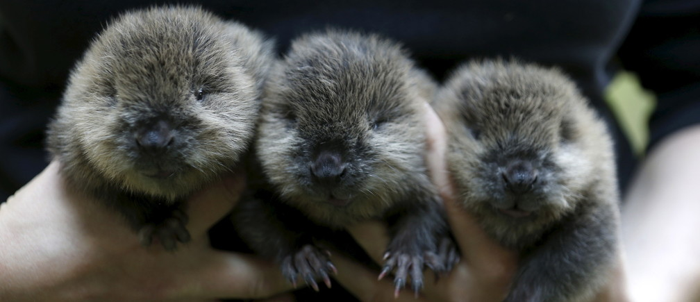 A zookeeper holds three new born beavers at an enclosure at the zoo in Wuppertal, Germany July 23, 2015. The beavers were born on July 21, 2015 in the zoo wildlife world wildlfe day animals beavers whales ducks pesticides coral krill dogs puppies hound cute Australia great barrier reef sea oceans underwater water  Biodiversity indigenous native tribe tribes tribal flora fauna human rights insects plants crops growth preservation conservation environment renewable solar energy change transition friendly environment carbon footprint carbon emissions reduction change natural climate change global warming air pollution clean energy power renewables plastic plastics conservation conservationist habitat cages growth coral rejuvenation climate change environment environmental fish mammals Hippocampus Convention on International Trade in Endangered Species Wild Fauna and Flora endangered vulnerable
