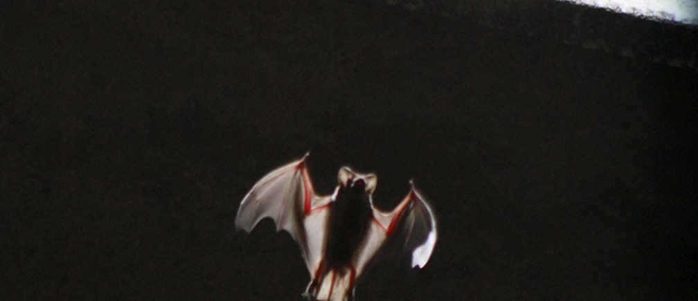 One of some 1.5 million bats emerges from below the Congress Street Bridge near downtown Austin, Texas July 27, 2011, as they do every night in the summer, looking for food. The largest urban bat colony in the world lives below a bridge in Austin. The drought has killed off crops in Texas, and that in turn has killed off those delicious pests the Mexican free-tailed bats consider dinner. Each night they stream from under a bridge by the hundreds of thousands in a black cloud so large that it shows up on local weather radar. Picture taken July 27, 2011. REUTERS/Charlie L. Harper III (UNITED STATES - Tags: ANIMALS ENVIRONMENT) - RTR2PDN1
