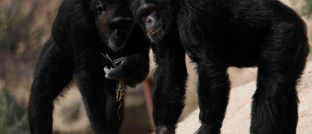 Chimpanzees are seen at Africano animals park, along the Cairo-Alexandria desert road, Egypt June 7, 2017. REUTERS/Amr Abdallah Dalsh - RC1A92FF2850