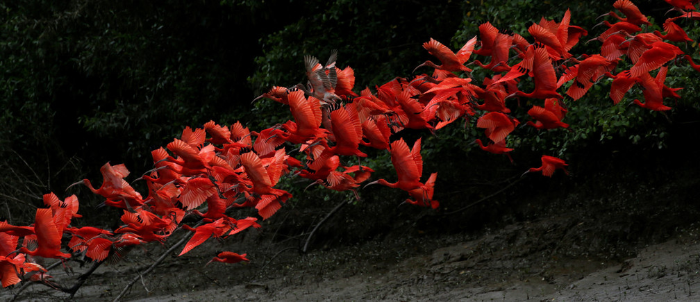 Scarlet ibis fly near the banks of a mangrove swamp located at the mouth of the Calcoene River on the coast of Amapa state, northern Brazil, April 6, 2017.