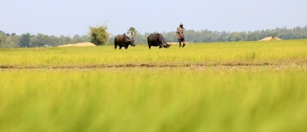 A man walks with buffalos on a paddy field as he returns back home in Svay Rieng province September 21, 2014. REUTERS/Samrang Pring (CAMBODIA - Tags: ANIMALS SOCIETY)