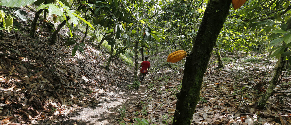 A member of Ghana's anti-smuggling task force treks through a cocoa plantation in Enchi, June 17, 2014. Picture taken June 17, 2014. To match Insight GHANA-IVORYCOAST/COCOA         REUTERS/Thierry Gouegnon (GHANA - Tags: AGRICULTURE BUSINESS FOOD) - GM1EA7S1P7101