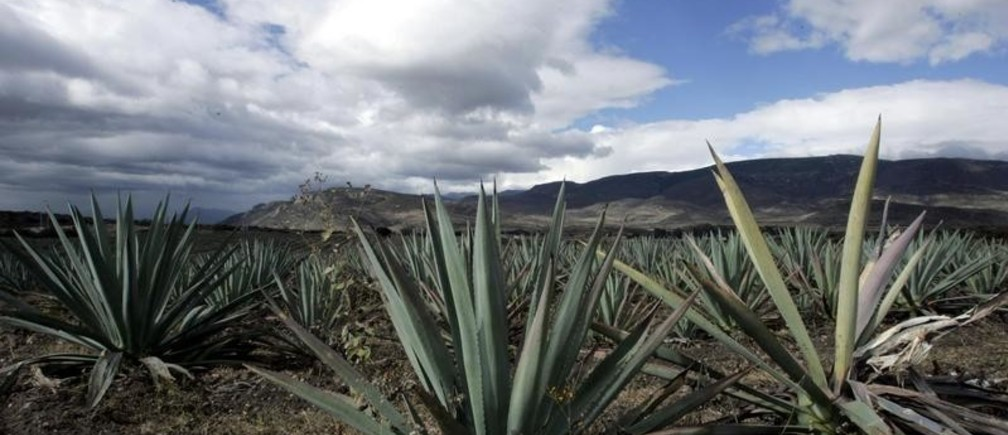 Agave cactus plants are seen in a field near the town of Santiago Matatlan November 14, 2007. Mezcal is produced in the south western state of Oaxaca and is distilled from fermented agave cactus. Picture taken November 14, 2007.    REUTERS/Stringer (MEXICO) - GM1DWPJRXNAA