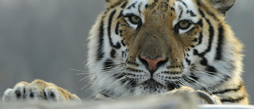 A Siberian tiger clings to wood logs at the Siberian Tiger Forest Park in Harbin, Heilongjiang province December 27, 2011. More than 800 Siberian tigers are currently living in the park, which is also a breeding centre for this endangered species, local media reported. REUTERS/Sheng Li (CHINA - Tags: ANIMALS SOCIETY TPX IMAGES OF THE DAY) - RTR2VNO0