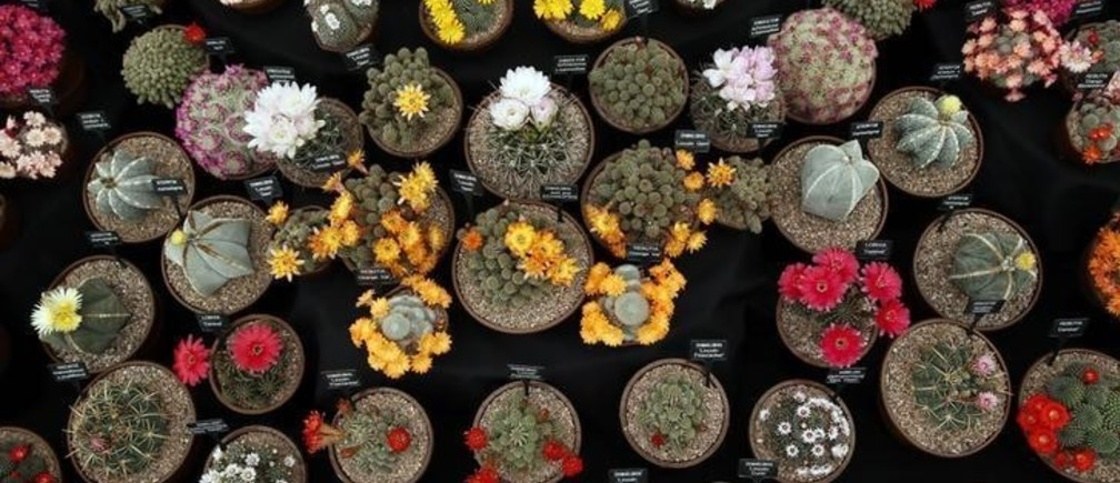 Cactus plants are seen during media day at the Chelsea Flower Show in London May 19, 2014.  REUTERS/Stefan Wermuth (BRITAIN - Tags: ENTERTAINMENT ENVIRONMENT)