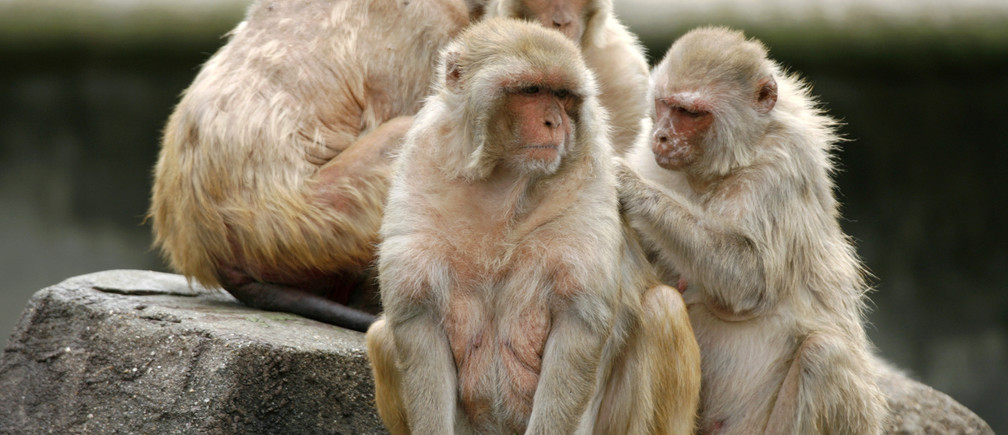 Rhesus monkeys gather at Ohama park in Sakai, near Osaka, May 11, 2008. Since June 2007, the park has cut down on the amount of food being fed to the monkeys from 10 kg (22 lbs) per day to 2 kg (4.4 lbs) because the monkeys have become overweight. The park is also planning to build a fence to prevent visitors from throwing food to the monkeys, a park office worker said. REUTERS/Kiyoshi Ota (JAPAN)