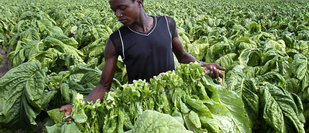 Zimbabwean farm worker Tendai Zivengwa carries raw tobacco at Mupfudze Farm in Featherston, about 150km south of Harare,  February 12, 2013. The 2013 tobacco selling season starts on February 13 at the country's three auction floors. The southern African country expects to sell 170 million kg of the crop this year, compared to 140 million kg previously. REUTERS/Philimon Bulawayo (ZIMBABWE - Tags: AGRICULTURE) - GM1E92D0E0V01