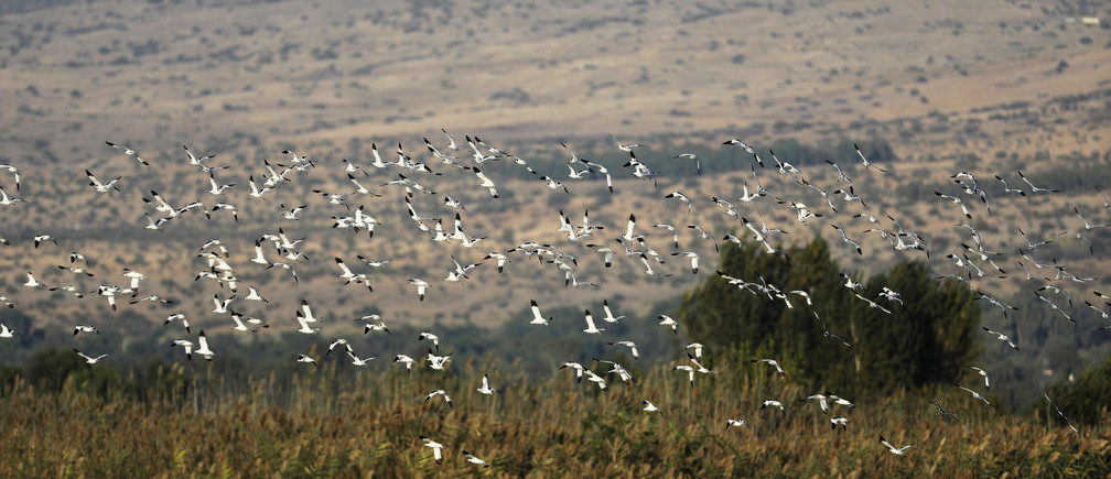 Avocet birds fly over the Hula Nature Park in northern Israel November 22, 2017. Picture taken November 22, 2017. REUTERS/Ammar Awad - RC11D7F98D00