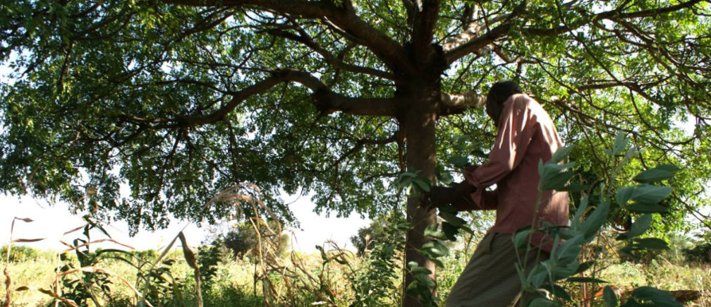 Farmer Jonathan Kituku Mung'ala shows some of the food crops that can grow with the help of the shade of Melia volkensii trees at his farm in Kibwezi, southern Kenya, on February 5, 2019. Thomson Reuters Foundation/Kagondu Njagi