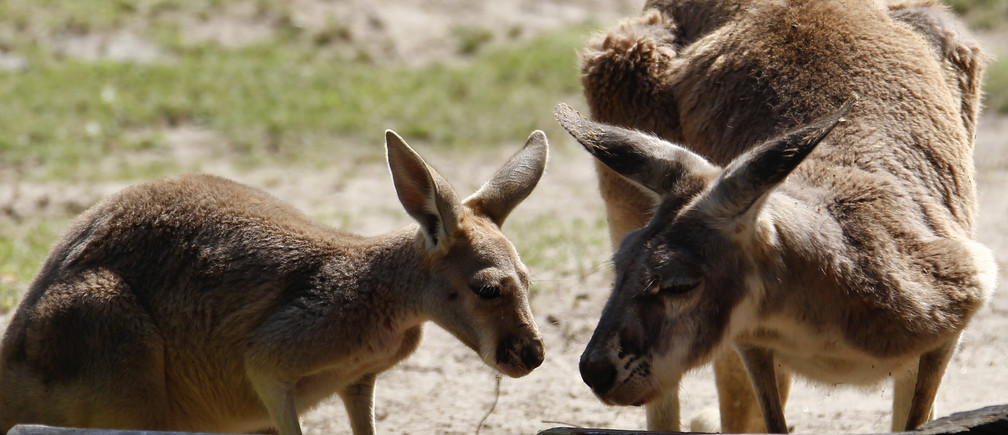 A six-month-old kangaroo (L) stands beside his mother in their enclosure during his official presentation at Berlin Zoo August 10, 2010.  REUTERS/Fabrizio Bensch (GERMANY - Tags: ANIMALS) FOR EDITORIAL USE ONLY. NOT FOR SALE FOR MARKETING OR ADVERTISING CAMPAIGNS - RTR2H7FH