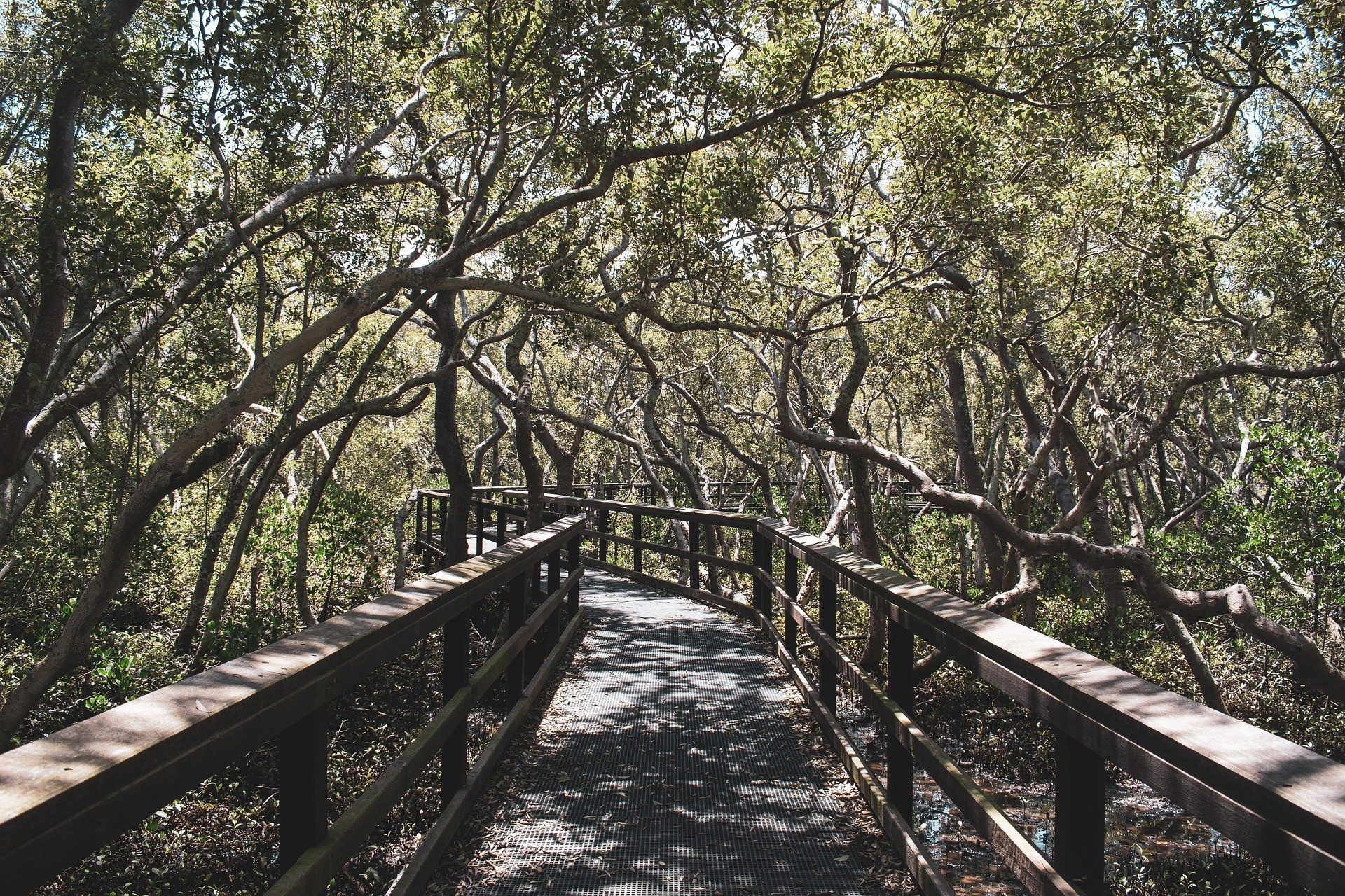 A walkway through a mangrove forest