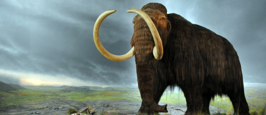 A woolly mammoth model at the Royal Victoria Museum, Victoria, British Columbia, Canada.