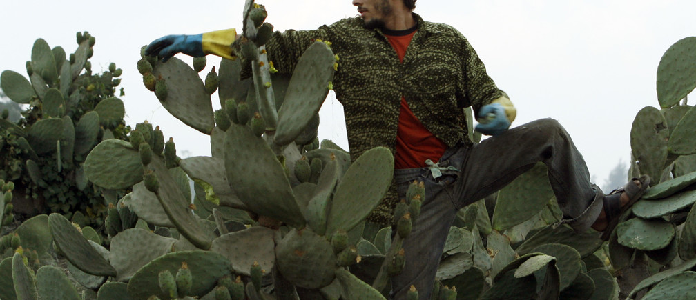 A worker picks prickly pears at a farm in Khanka area, about 30 km (20 miles) northeast of Cairo, July 4, 2008. The workers pick the fruit during early morning hours when the plant is still covered with dew, which reduces likelihood of injury from the spikes. REUTERS/Asmaa Waguih (EGYPT) - GM1E47504LN01
