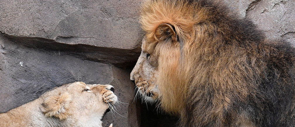 A lioness growls at Bhanu the Asiatic lion during an event to publicise World Lion Day at London Zoo in London, Britain, August 9, 2018. REUTERS/Toby Melville - RC1910AD1000