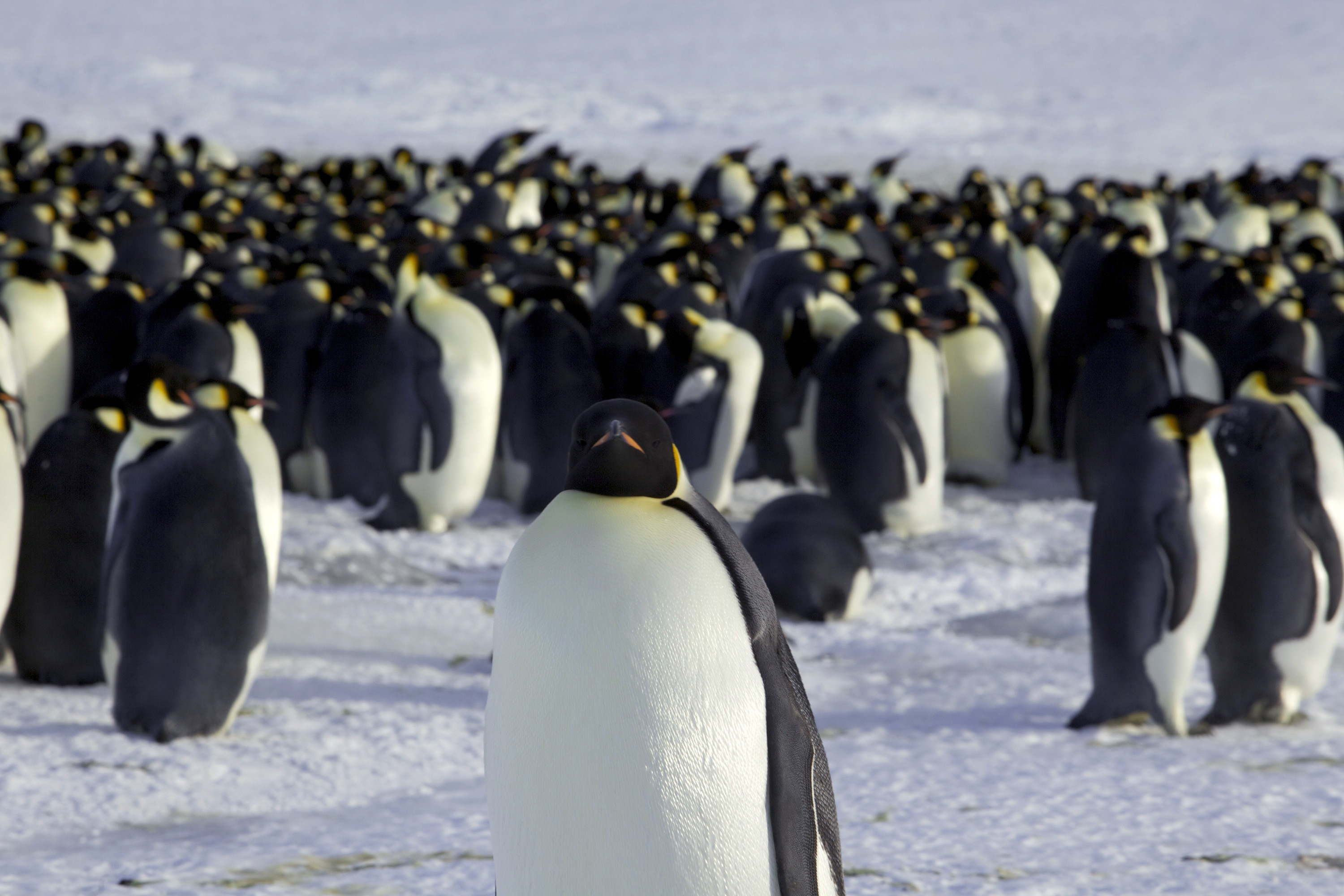 Emperor penguins are seen in Dumont d'Urville, Antarctica April 10, 2012.  REUTERS/Martin Passingham/File Photo - TM3ECAL14MQ01