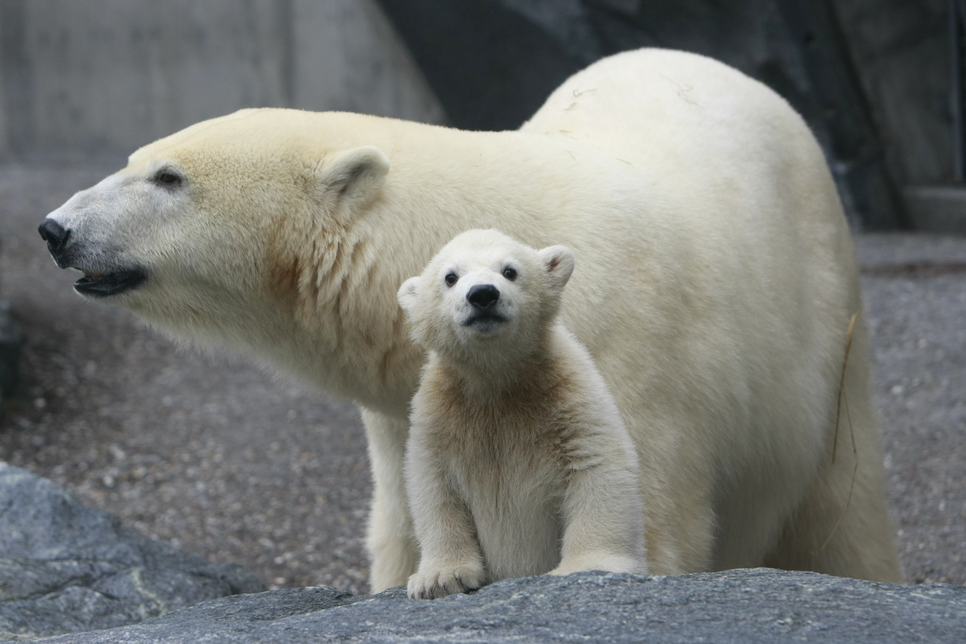 Polar bear cub Wilbaer stands next to his mother Coprinna in their enclosure at the Wilhelma zoo in Stuttgart during his first appearance April 16, 2008. REUTERS/Alex Grimm (GERMANY) - BM2E44G11PT01