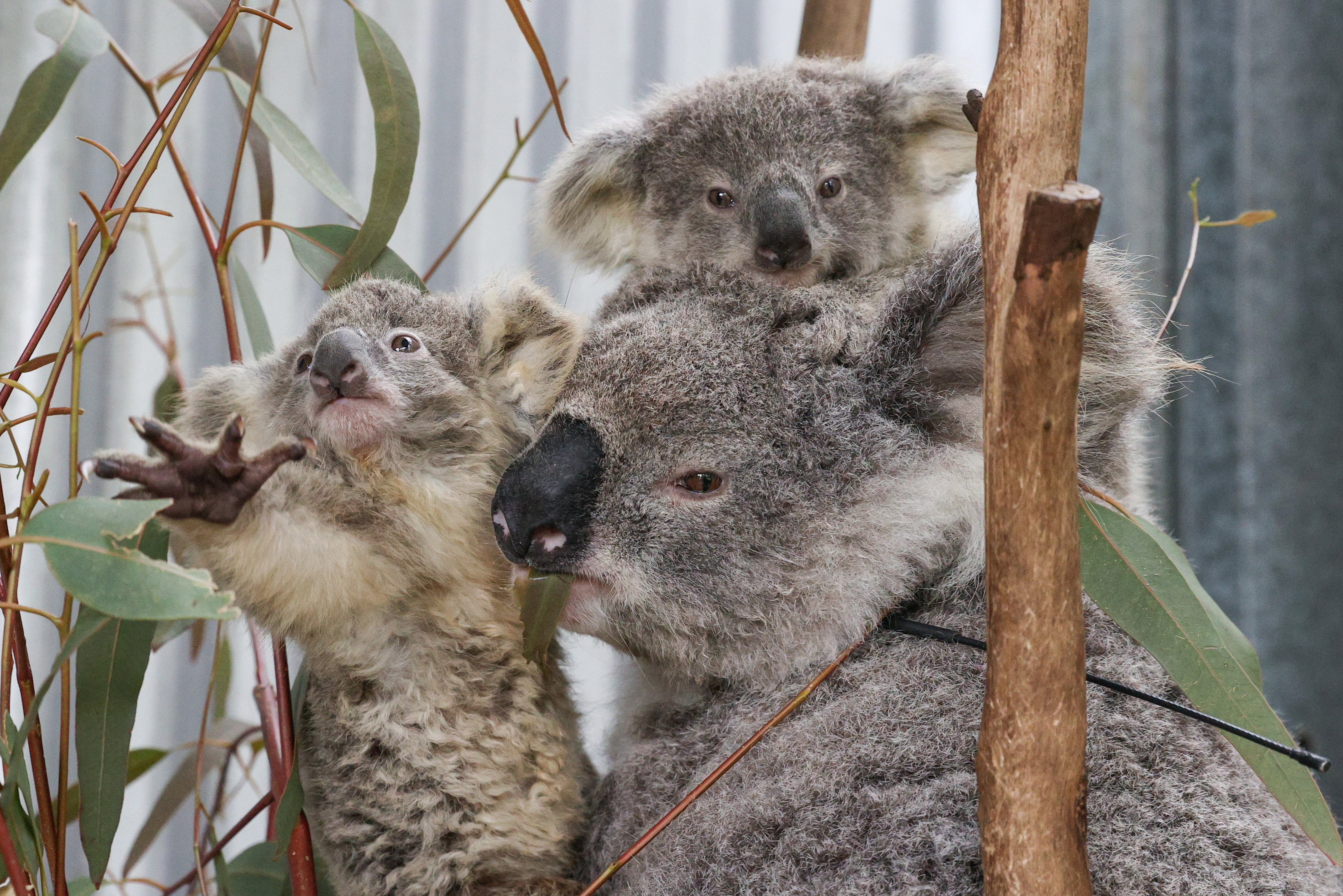 """A mother koala named Gladys is pictured with her twin joeys, who have been medically diagnosed as being underweight, at a rehabilitation enclosure next to their carer's home, who volunteers for the animal rescue agency, Wildlife Information, Rescue and Education Service, also knows as WIRES, where they are being rehabilitated, in Wedderburn, Australia, September 11, 2020. Gladys and her joeys were rescued from an area where urban development is encroaching on koala habitat. REUTERS/Loren Elliott      SEARCH """"KOALAS ELLIOTT"""" FOR THIS STORY. SEARCH """"WIDER IMAGE"""" FOR ALL STORIES     TPX IMAGES OF THE DAY - RC2GLJ9L2515"""