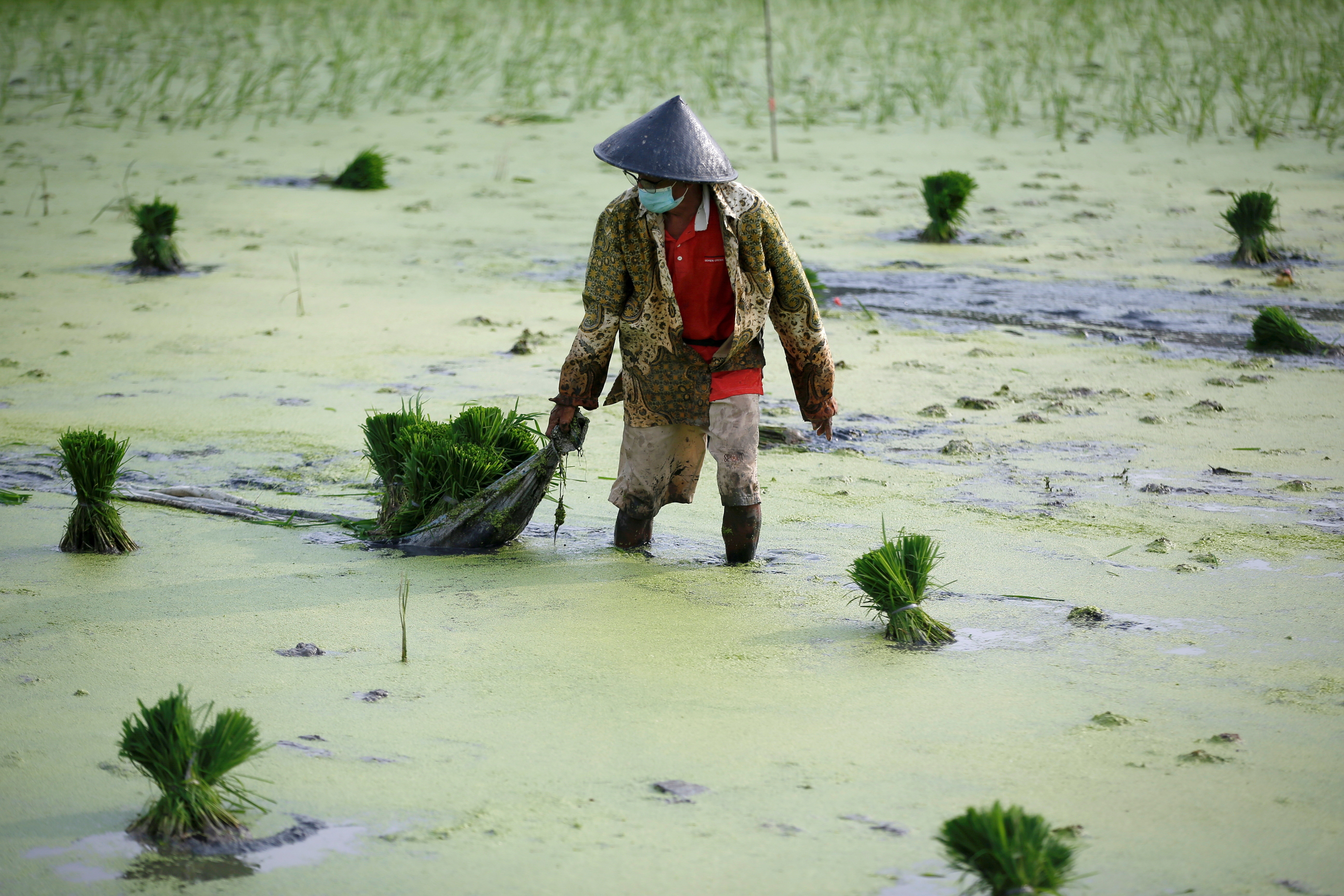 A farmer wearing a protective mask to curb the spread of coronavirus disease (COVID-19) works at a paddy field in Jakarta, Indonesia, June 28, 2021. REUTERS/Willy Kurniawan     TPX IMAGES OF THE DAY - RC2R9O971YIX