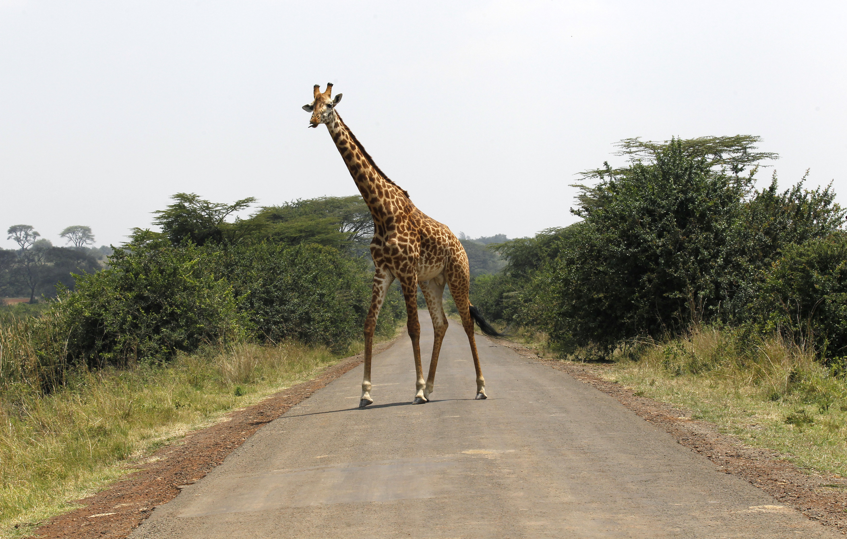 Giraffe Trade Is To Be Regulated For The First Time Says Cites World Economic Forum