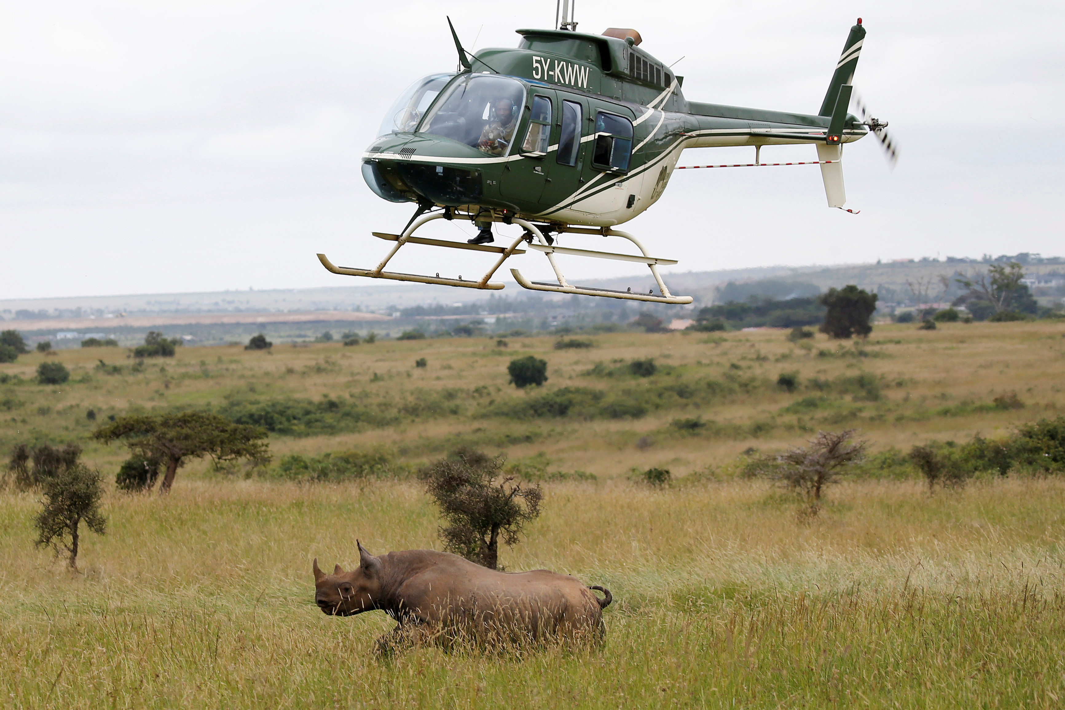 Kenya Wildlife Service (KWS) personnel on board a helicopter try to tranquillise a female black rhino before transporting it as part of a rhino translocation exercise In the Nairobi National Park, Kenya, June 26, 2018. REUTERS/Baz Ratner - RC1B6B99C0E0