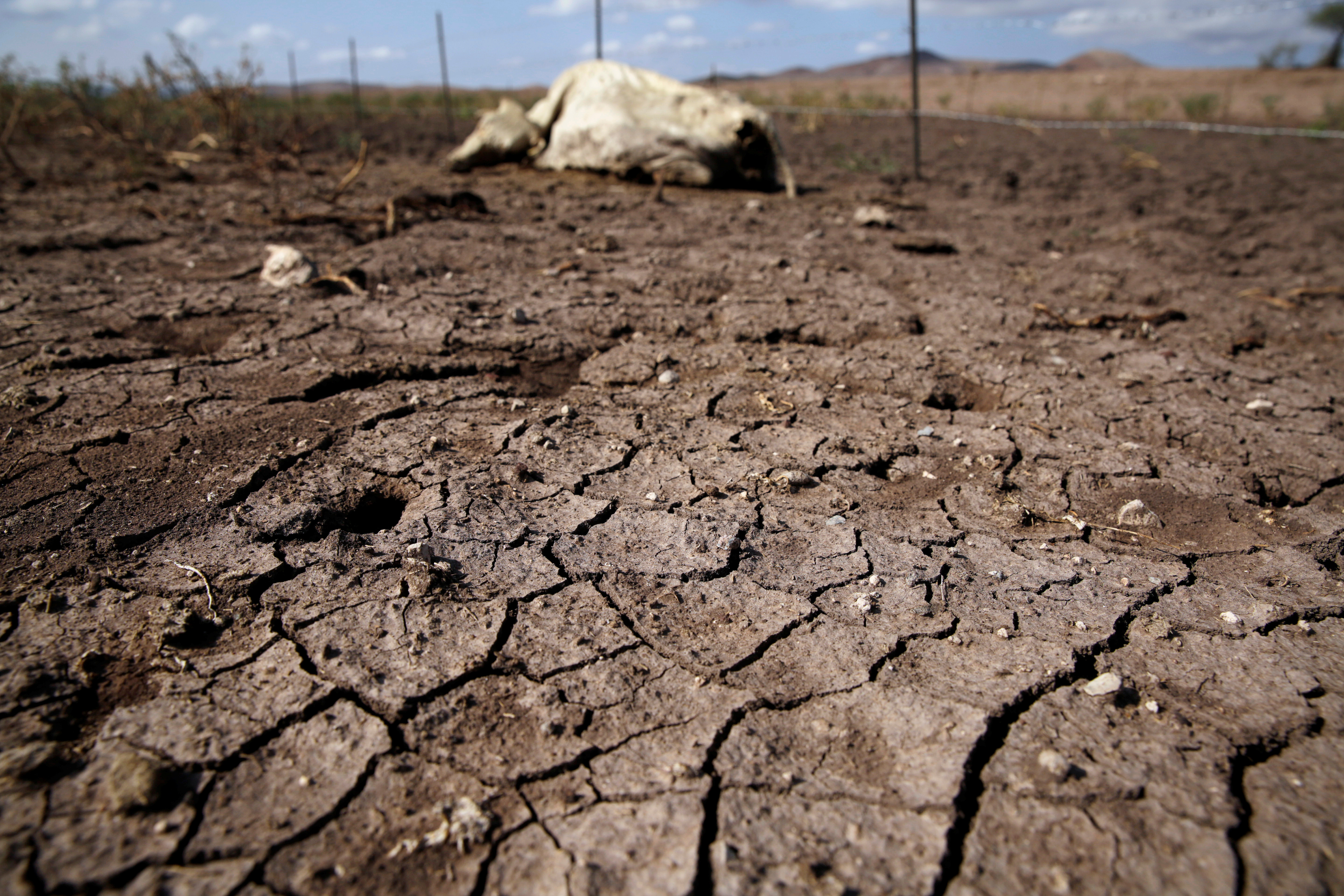 The carcass of a cow is seen on the dried ground of the Santa Barbara ranch in a drought-stricken area near Camargo, in Chihuahua state, Mexico September 9, 2020. REUTERS/Jose Luis Gonzalez - RC2TVI95PB7Y
