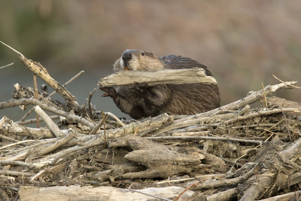 A beaver, a keystone species, is seen creating a damn with pieces of wood.