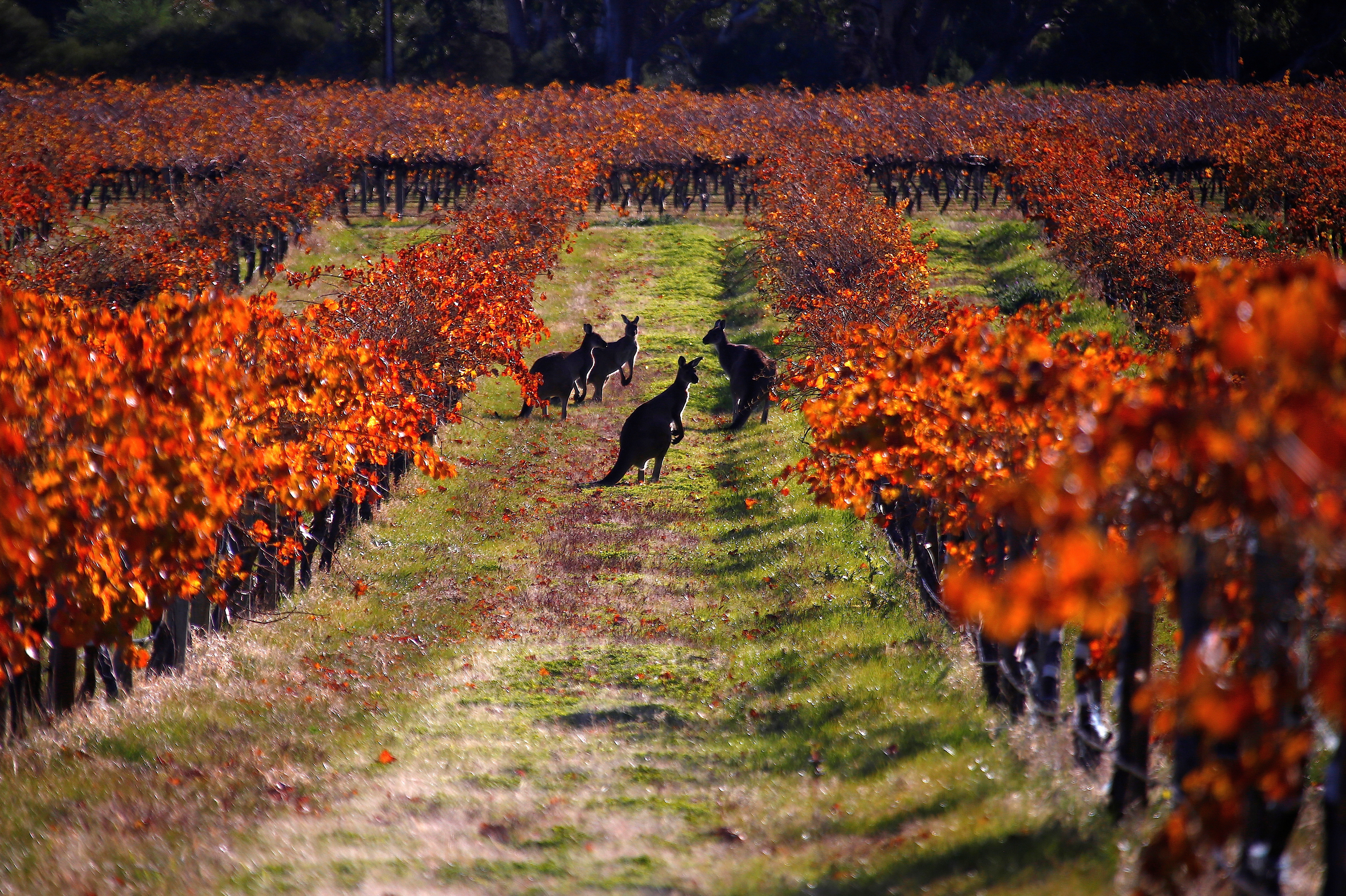 A group of Kangaroos can be seen between rows of vines at the Charles Melton vineyard located in the Barossa Valley, north of Adelaide in Australia, June 10, 2017. Picture taken June 10, 2017.  REUTERS/David Gray     TPX IMAGES OF THE DAY - RC1797BD6920