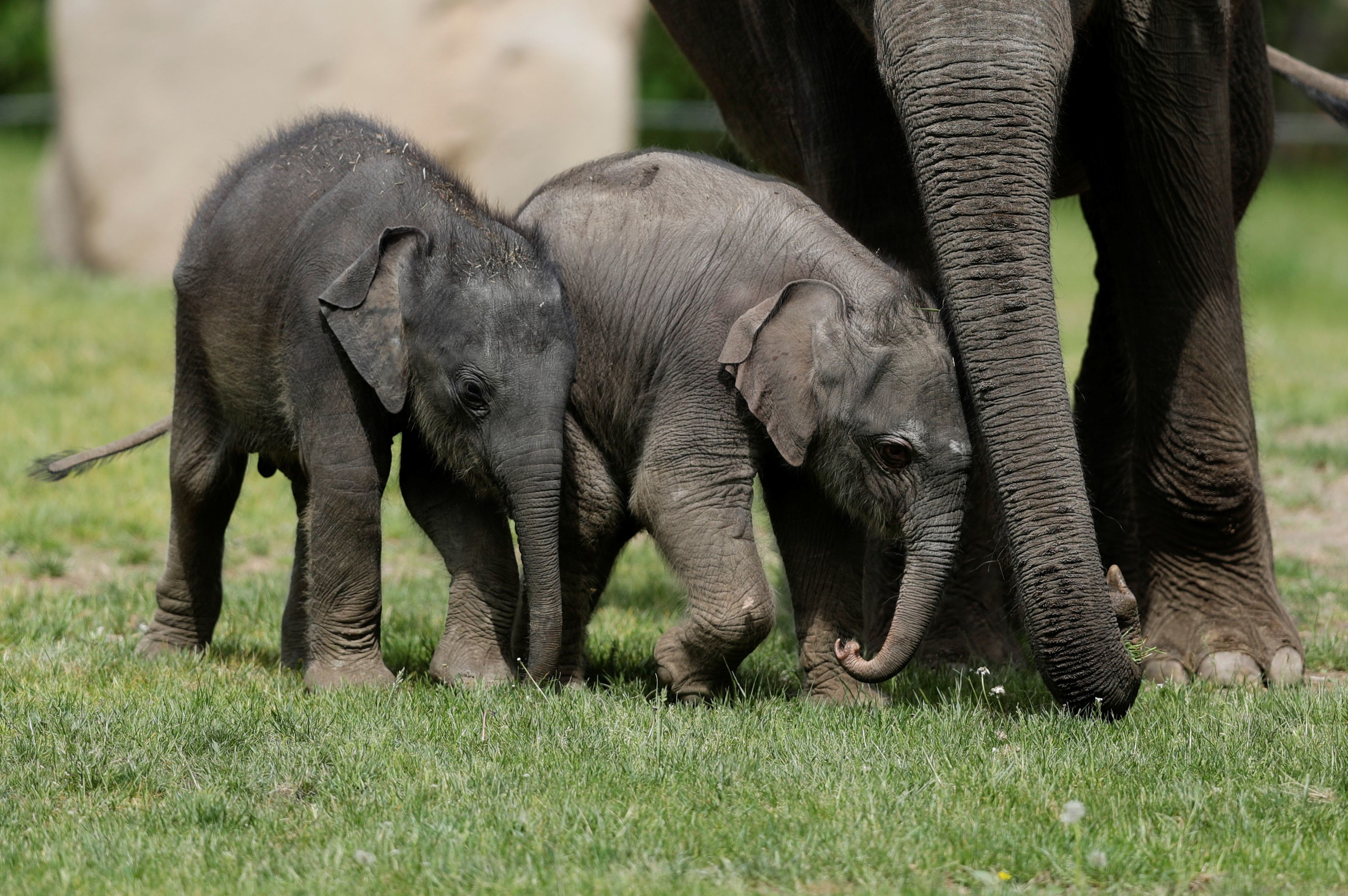 a newly born female Asian elephant calf (C) walks next to its one month-old sister