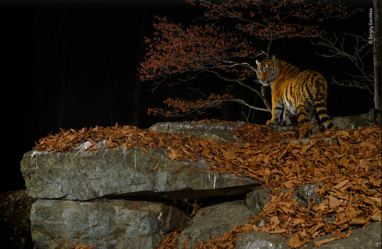 The tree-hugging tiger and 9 other award-winning wildlife photos