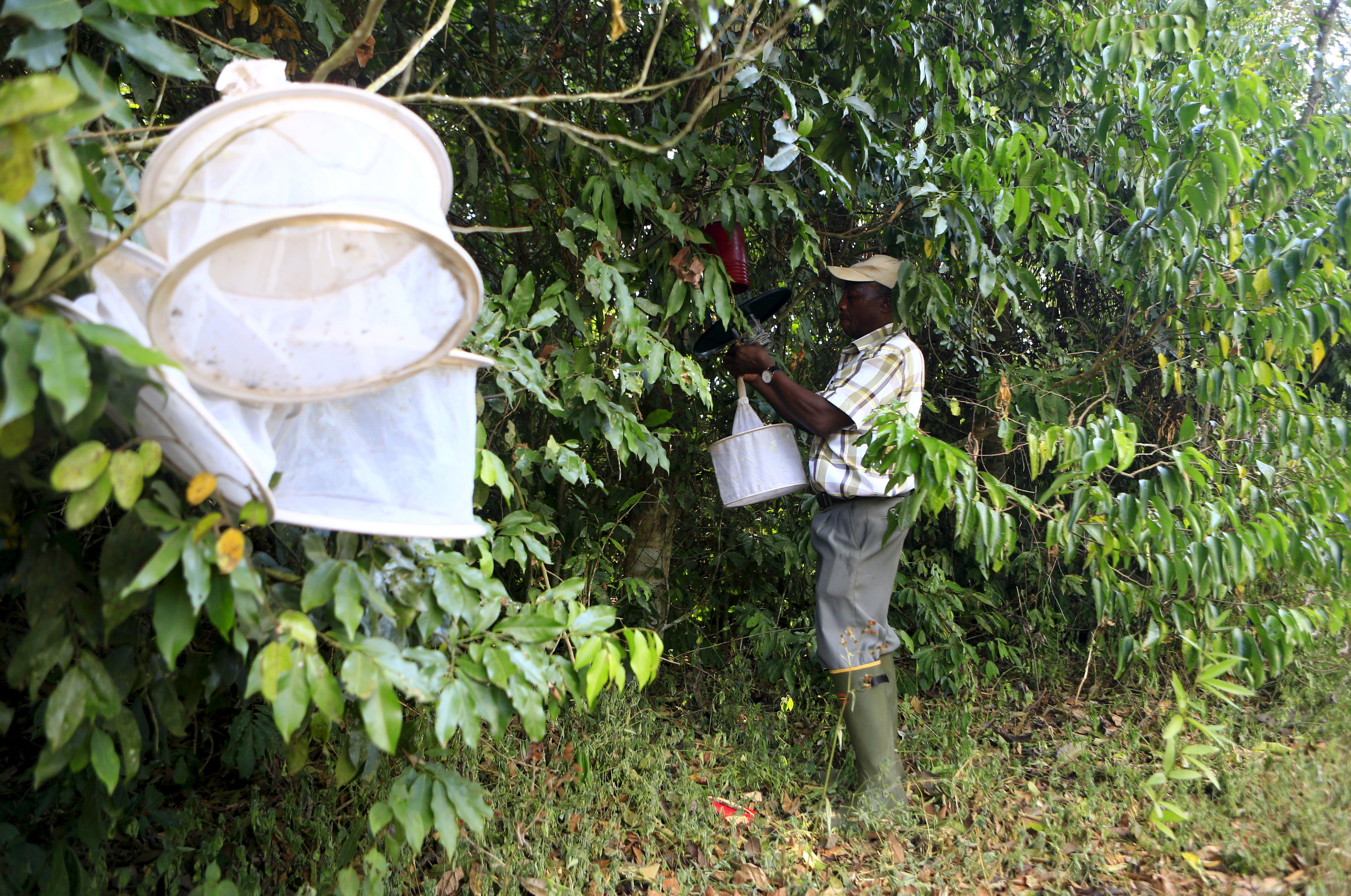 """A researcher from the Uganda Virus Research Institute (UVRI) collects insect traps at the Zika Forest in Entebbe, south of Uganda's capital Kampala March 2, 2016. In a patch of forest near Lake Victoria in Uganda, mosquitoes known to carry the Zika virus buzz with little seeming worry amid the local community. Scientists use a 120-foot high steel tower to harvest mosquitoes for research into viruses afflicting man and animals. Beyond that, however, there's little sign in the 15-acre Zika Forest of its central role in unravelling one of the world's major healthy crises in recent times.  REUTERS/James Akena SEARCH """"ZIKA FOREST"""" FOR THIS STORY. SEARCH """"THE WIDER IMAGE"""" FOR ALL STORIES  - GF10000354160"""