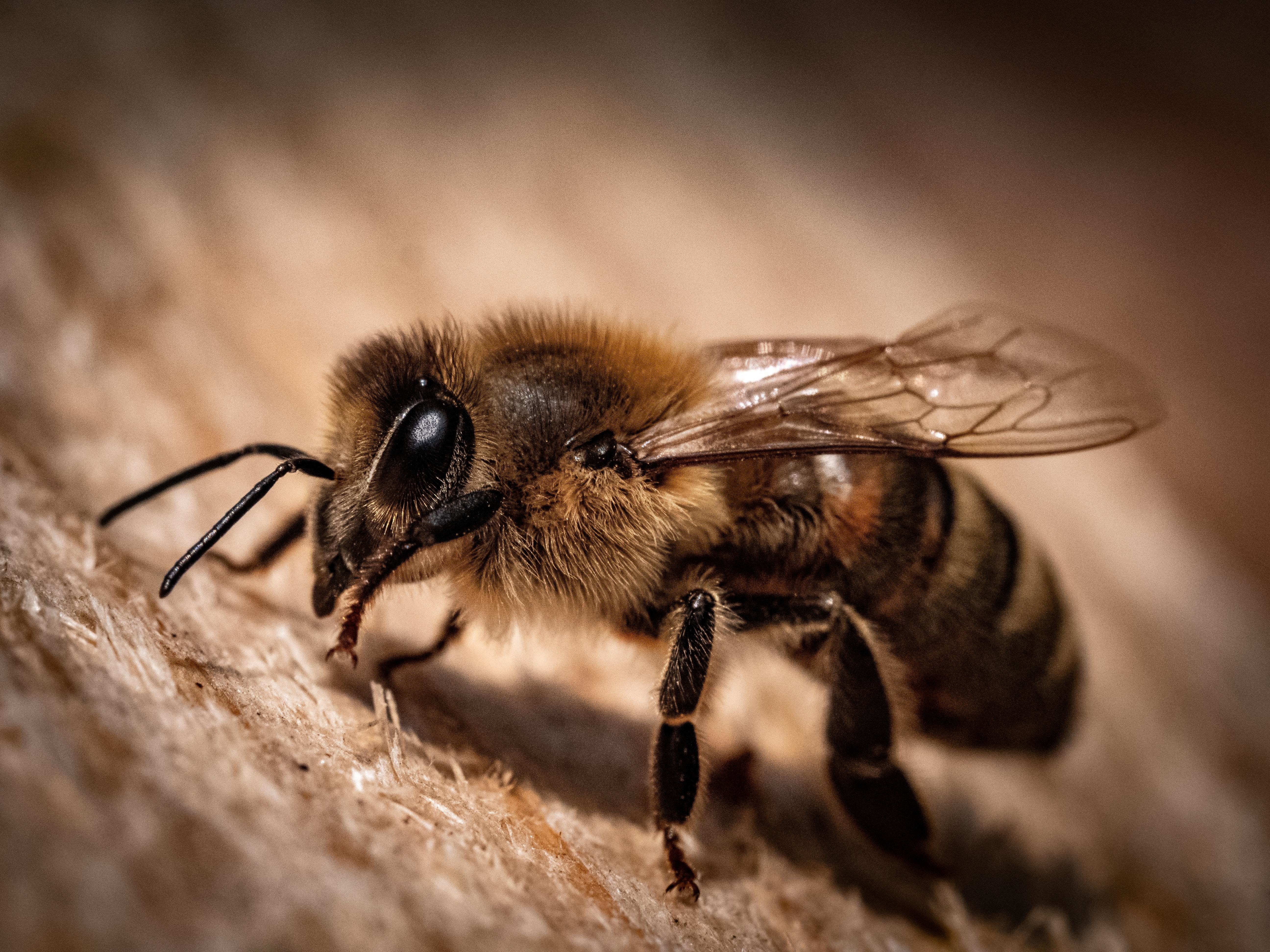 Bee population numbers are dropping - and US crop yields could plummet as a result