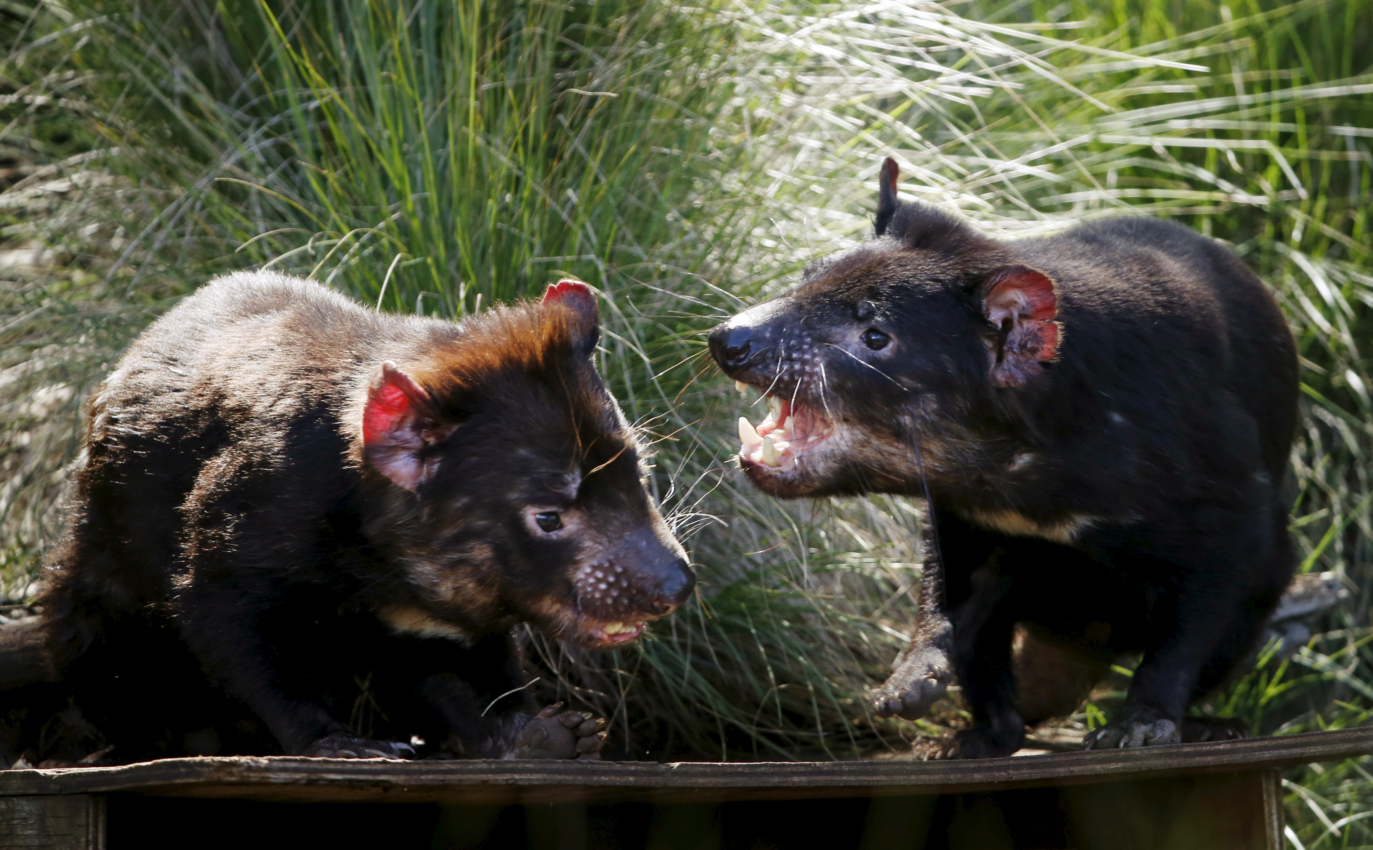 Tasmanian Devils fight in their enclosure before the first shipment of healthy and genetically diverse devils to the island state of Tasmania are sent from the Devil Ark sanctuary in Barrington Tops on Australia's mainland, November 17, 2015. The largest group so far of disease-free Tasmanian devils has been released in the wild, as part of plans to save the carnivorous marsupials from a cancer threatening them with extinction. Picture taken November 17.    REUTERS/Jason Reed  - GF20000065442