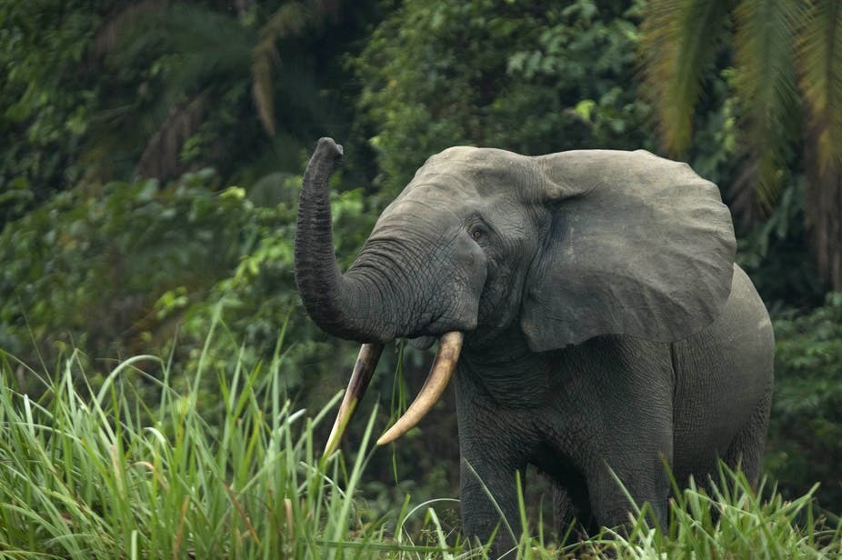 An African forest elephant (Loxodonta cyclotis) in Odzala-Kokoua National Park, Republic of the Congo.