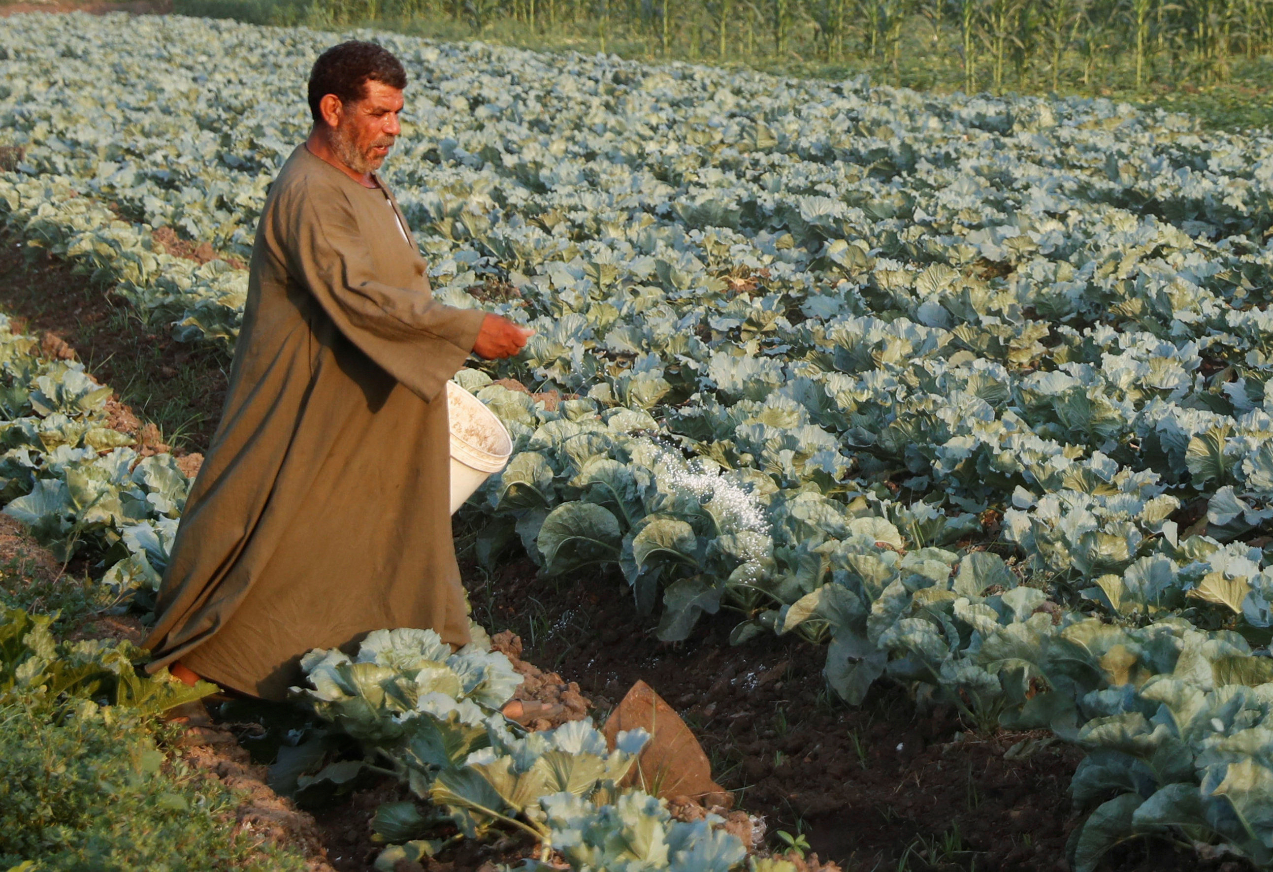A farmer works in cabbage field while Egypt celebrates Farmers Day, amid concerns over the coronavirus disease (COVID-19), near Sharqia along the agricultural road which leads to Cairo, Egypt September 9, 2020. REUTERS/Amr Abdallah Dalsh - RC28VI9XE235