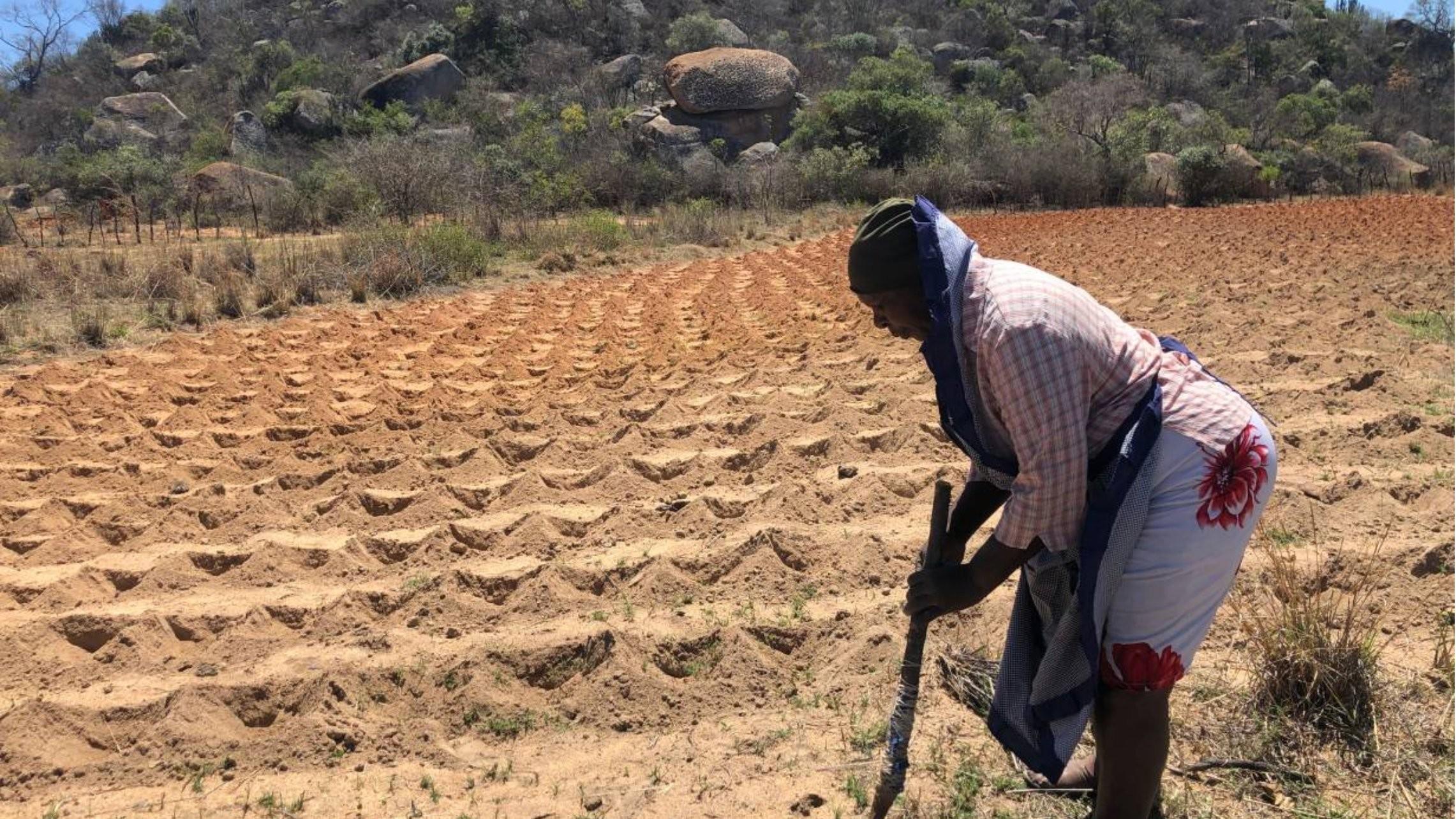 "Vania Nyathi, 60, prepares land using the ""pfumvudza"" farming method in the village of Gwangazile, Zimbabwe, October 16, 2020. Thomson Reuters Foundation/Lungelo Ndhlovu"