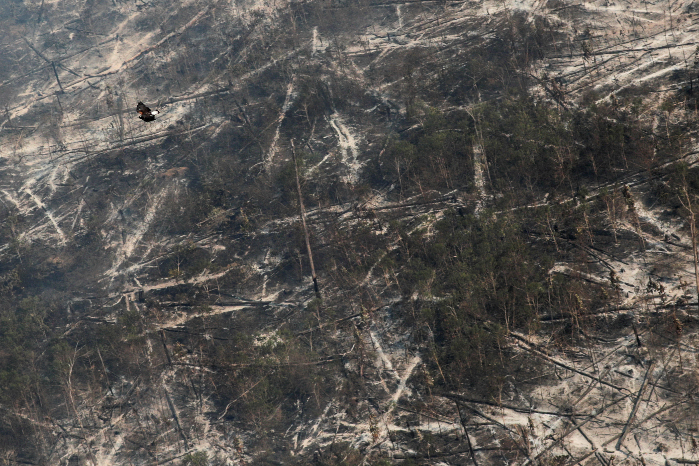 """A hawk flies over a tract of burnt Amazon jungle near Porto Velho, Rondonia State, Brazil August 14, 2020. In the dry season ranchers and land speculators set fires to clear deforested woodland for pasture. Blazes can rage out of control, fueled by the swirling wind and dry foliage. Wildlife flee from the smoke and flames. REUTERS/Ueslei Marcelino   SEARCH """"BRAZIL ANIMALS"""" FOR THIS STORY. SEARCH """"WIDER IMAGE"""" FOR ALL STORIES  TPX IMAGES OF THE DAY - RC2OTI97PVJA"""