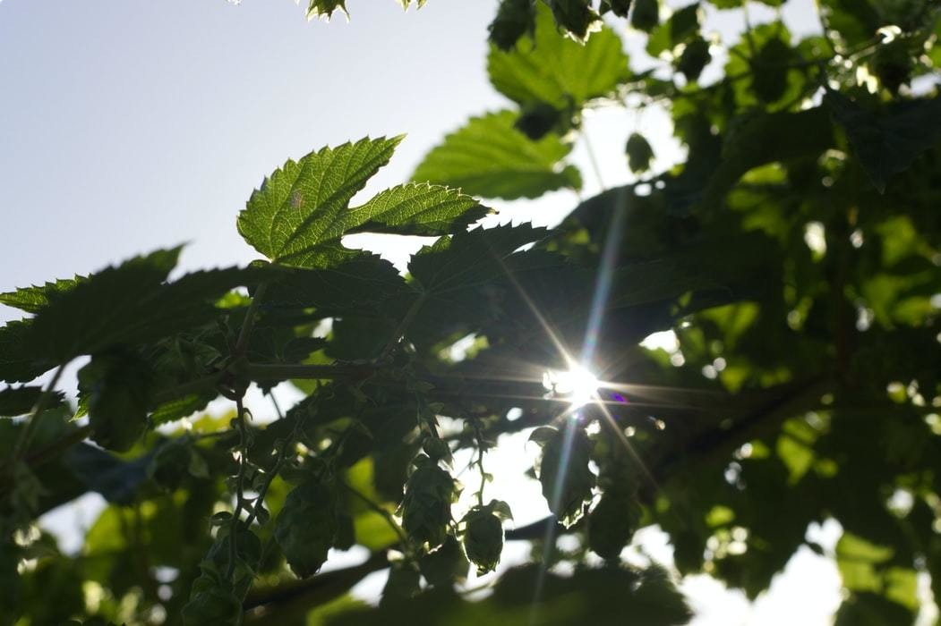 Image of some green leaves with sunlight shining through