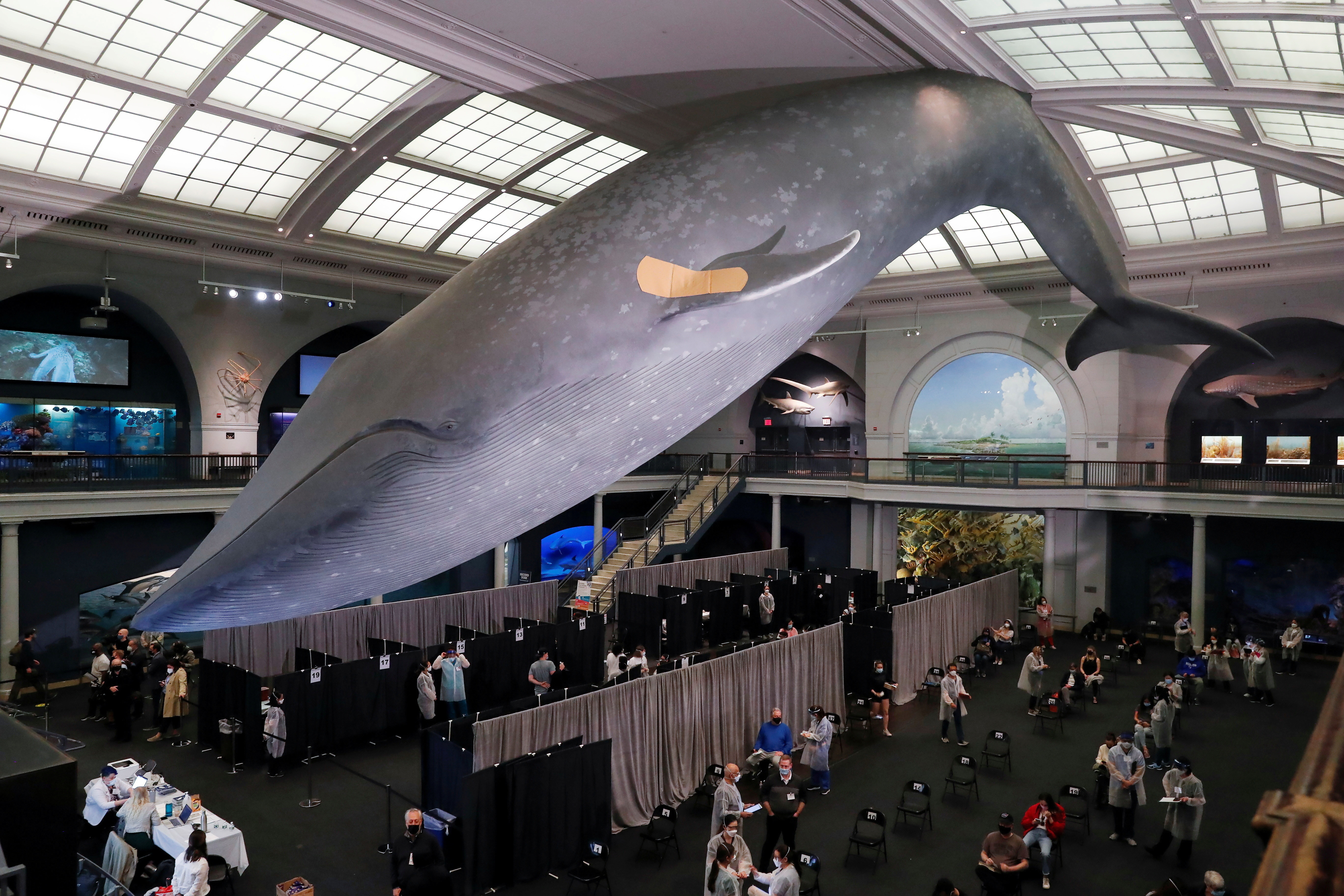 A blue whale model hangs with a band aid on its fin above a pop up vaccination site at the American Museum of Natural History in New York City, U.S., April 23, 2021. REUTERS/Shannon Stapleton     TPX IMAGES OF THE DAY - RC2T1N9ET247