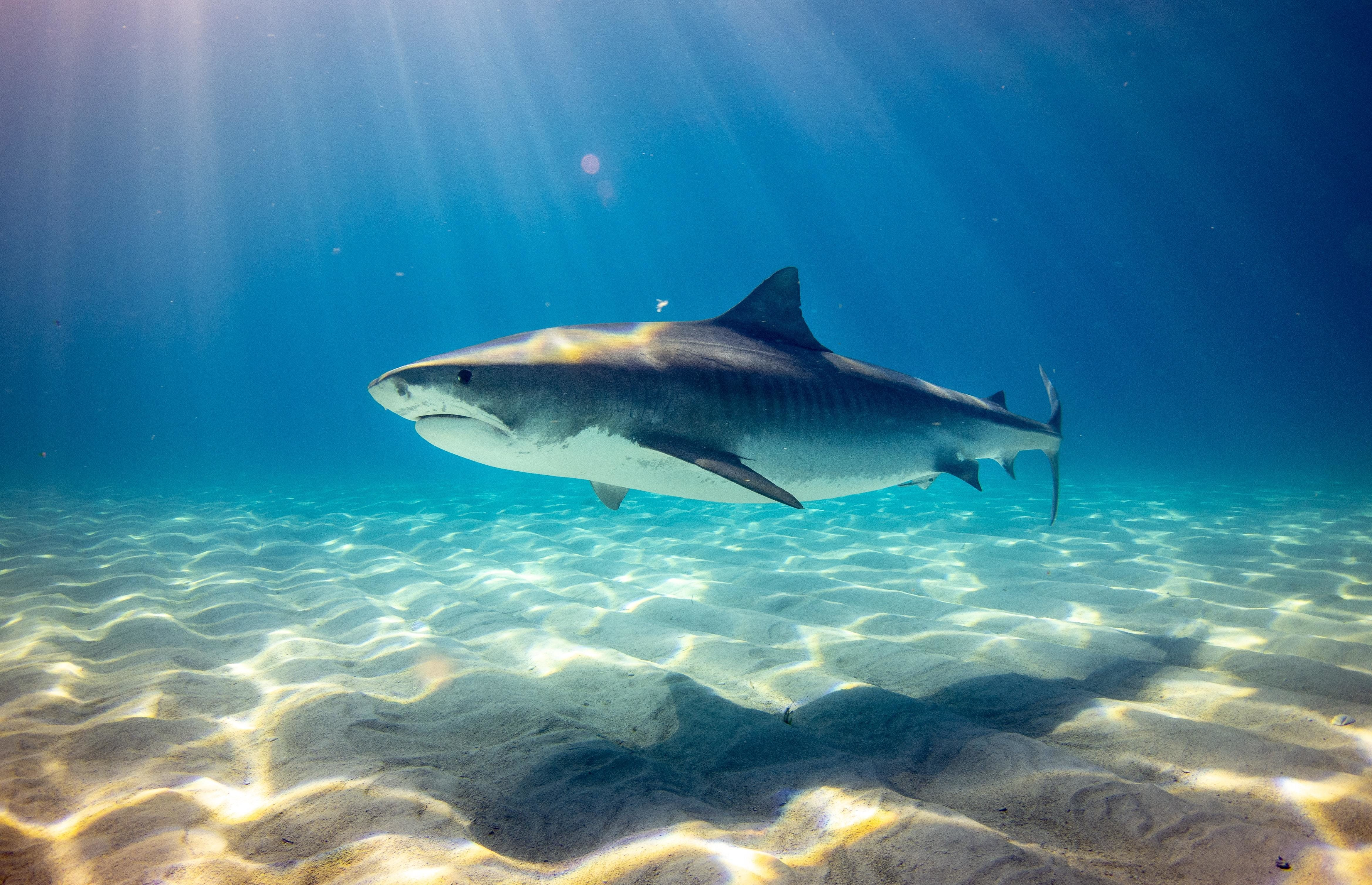 sharks, like this one pictured here, are essential for ocean biodiversity