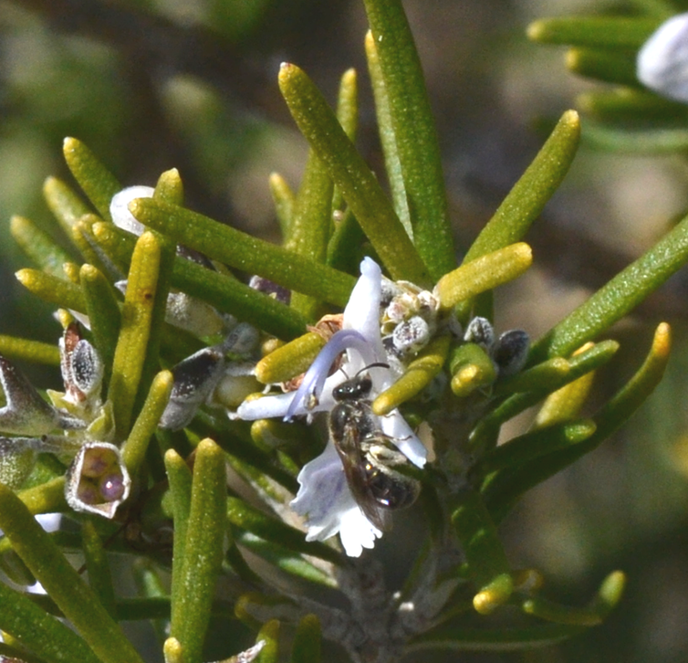 Une abeille sauvage, les pattes arrières et le côté de l'abdomen couverts de pollen de romarin.