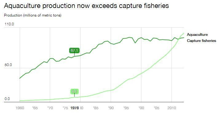 Aquaculture production now exceeds capture fisheries