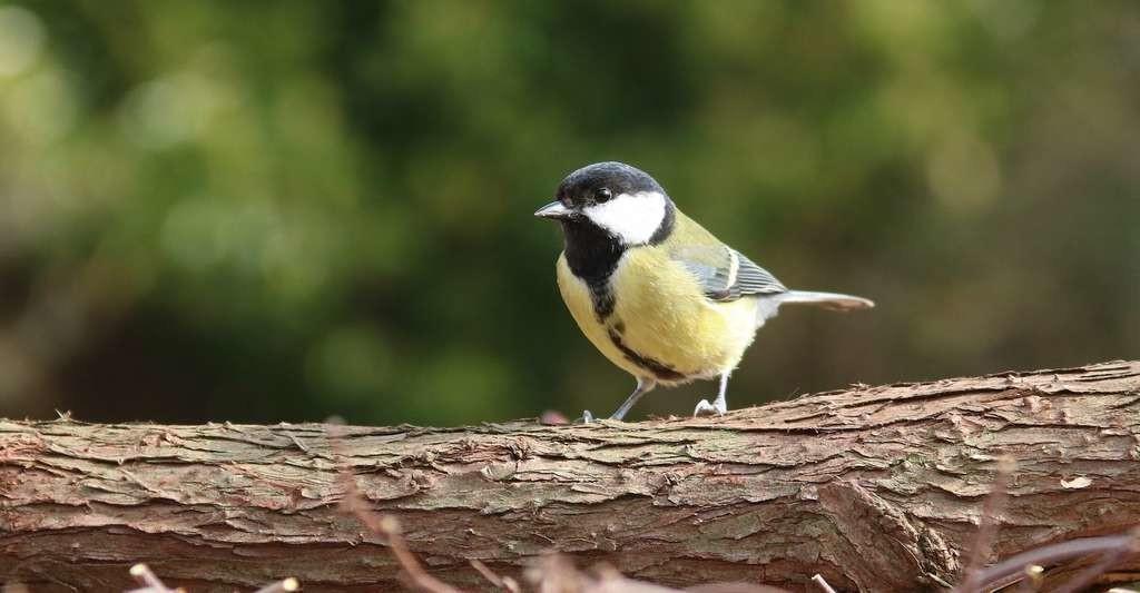 Les chercheurs ont essentiellement travaillé sur des oiseaux afin de bénéficier de données les plus complètes possible. Sur la très commune mésange charbonnière, notamment.