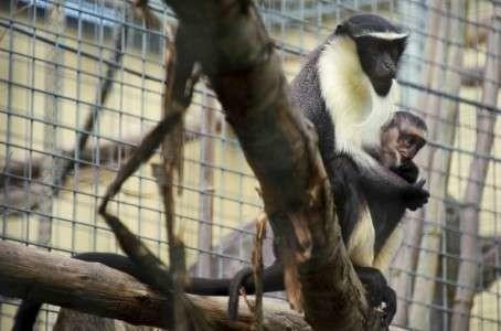 Une femelle et son petit de la famille des Cercopithecus, menacée d'extinction, photographiés le 2 août 2012 au zoo de Mulhouse.