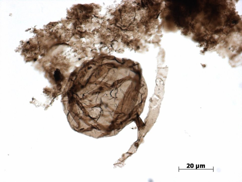 The fossil of Ourasphaira giraldae fungus is no bigger than 0.08 millimeters in size.